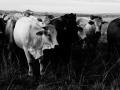 contrast cows